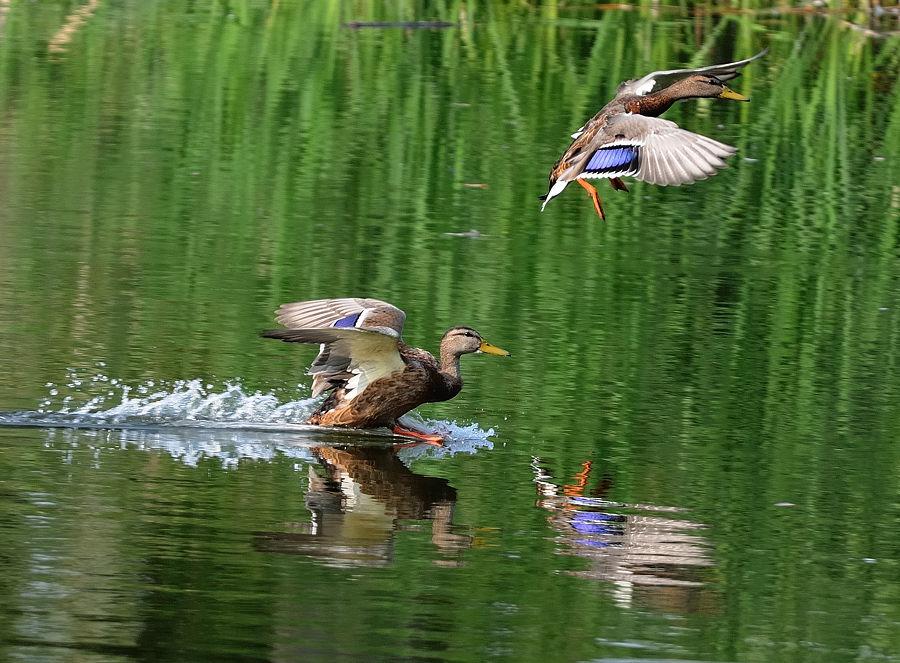 Охота-на-утку-весной